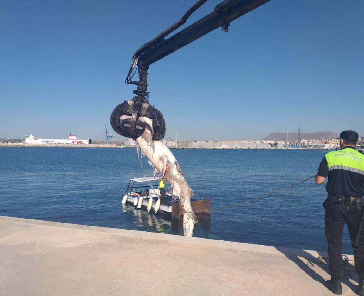 Encuantran en Alicante tiburon de 3 metros muerto